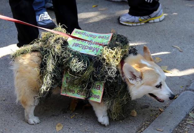 Medical Marijuana for Pets