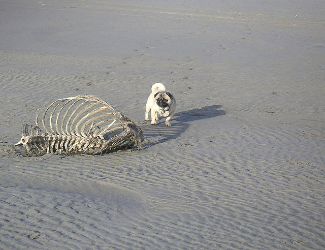Pug at Beach with Skeleton Carcass Andrew Becraft Flickr