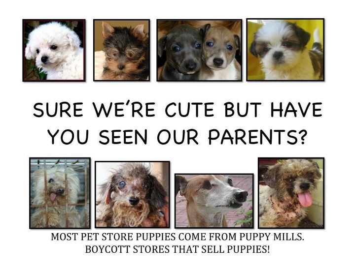 Pet Shops In New York Were Investigated All Sourced Their Puppies